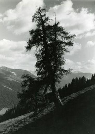 Emil MEERKÄMPER - Photography - Im Bündnerwald. Alte Lärche an der Baum Grenze bei Davos.