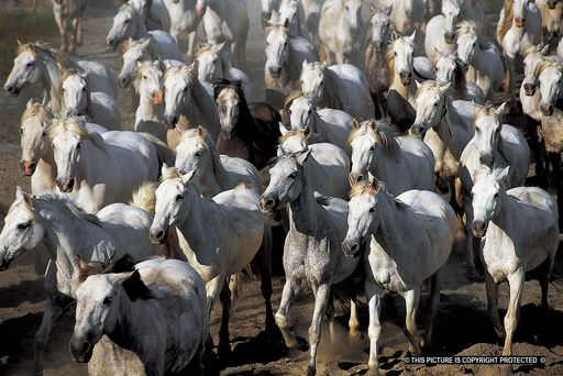 Henry AUSLOOS - Photography - Camargue's herd    (Cat N° 6779)