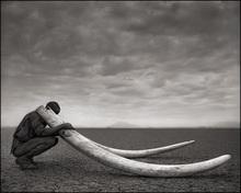 Nick BRANDT - Photo - Ranger With Tusks Of Killed Elephant