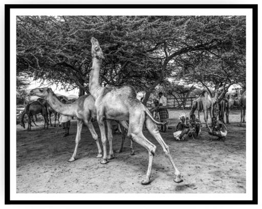 Mario MARINO - Photography - Dromedars, Africa, 2018.