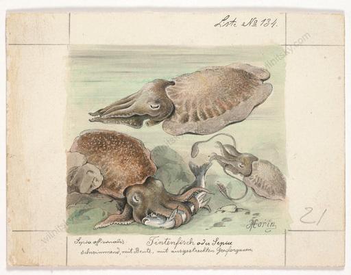 "Louis MORIN - Drawing-Watercolor - ""Squid"", small watercolor, ca. 1900"