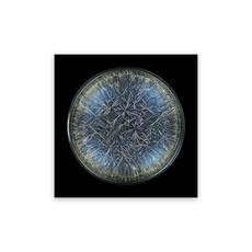 Seb JANIAK - Photography - Morphogenetic Field - Dandelion (Pissenlit) (Medium)