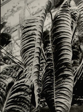 Albert RENGER-PATZSCH - Fotografia - Aracea, Anthurium veithschii