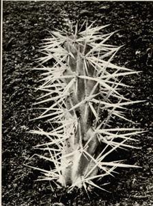 Albert RENGER-PATZSCH - Fotografia - Opuntia tunicata