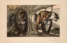 Paul JOUVE - Grabado - Deux Jaguars