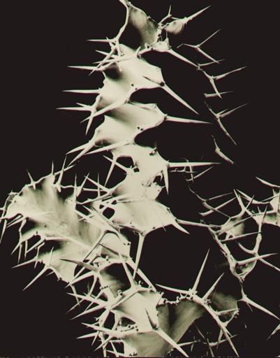 Albert RENGER-PATZSCH - Fotografia - Euphorbia grandicornis