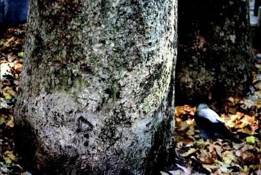 Abbas KIAROSTAMI - Fotografia - Trees and Crows No.4