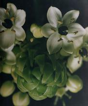 Caroline CHIU - Fotografia - Flower Bud