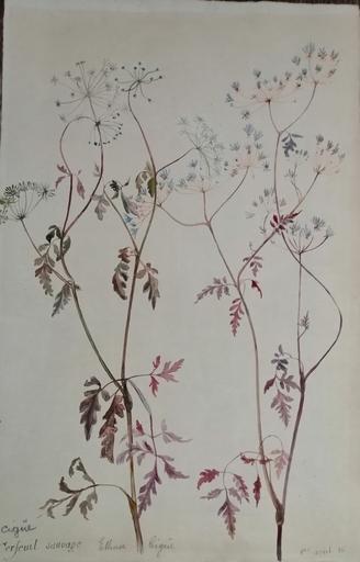 Alfred KELLER - Dibujo Acuarela - Cigue - Botanique