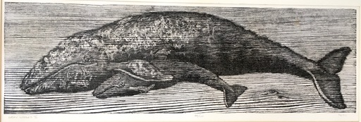 Kurt PESL - Print-Multiple - Gray Whales II