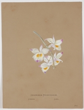"Caroline MASCHEK - Drawing-Watercolor - ""Dendrobium Rueckerianum Orchid"", late 19th century"