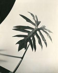 Herbert MATTER - Photography - Leaf