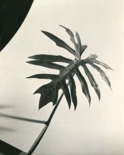Herbert MATTER - Photography - Leaf