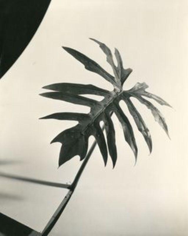 Herbert MATTER - Fotografia - Leaf