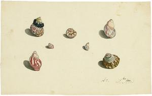 Johann Rudolf SCHELLENBERG - Disegno Acquarello - 7 Exemplare der Schneckengattungen Trochus und Turbo.