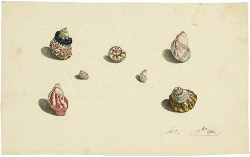 Johann Rudolf SCHELLENBERG - Drawing-Watercolor - 7 Exemplare der Schneckengattungen Trochus und Turbo.