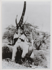 Peter BEARD - Photography - Elephant reaching for the last branch on a tree ,Kenya