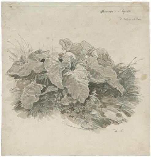 Carl WAGNER - Drawing-Watercolor - Huflattich, Kräuterstudie.