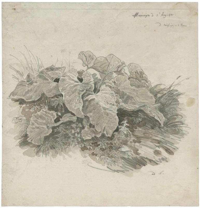 Carl WAGNER - Disegno Acquarello - Huflattich, Kräuterstudie.