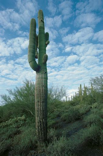 Michael K. YAMAOKA - Fotografia - Giant Saguaro Cactus, Arizona