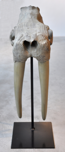 Quentin GAREL - 雕塑 - Crâne de Morse