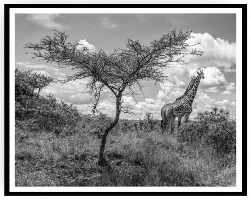 Mario MARINO - Photography - Giraffes, Africa, 2018.