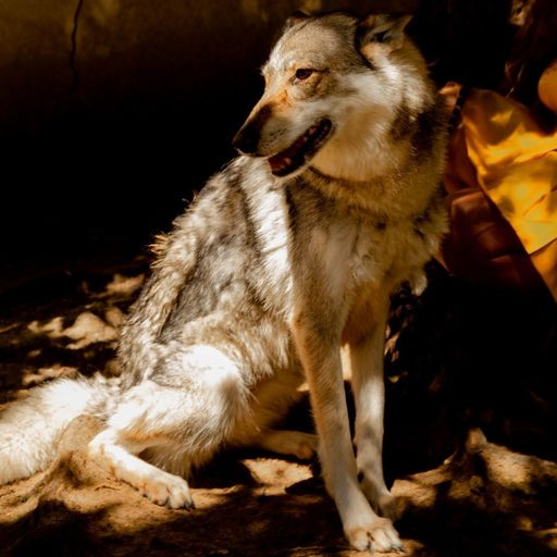Julie COULON - Photography - « Wolf »