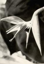 Albert RENGER-PATZSCH - Fotografia - Strelitzia reginae