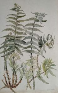 Alfred KELLER - Dibujo Acuarela - Fougère - Botanique