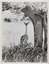 Peter BEARD - Fotografia - Geranuk, Kenya