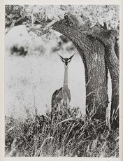 Peter BEARD - Photo - Geranuk, Kenya