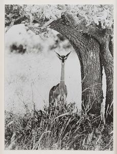 彼得•比尔德 - 照片 - Geranuk, Kenya
