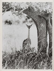 Peter BEARD - Photography - Geranuk, Kenya
