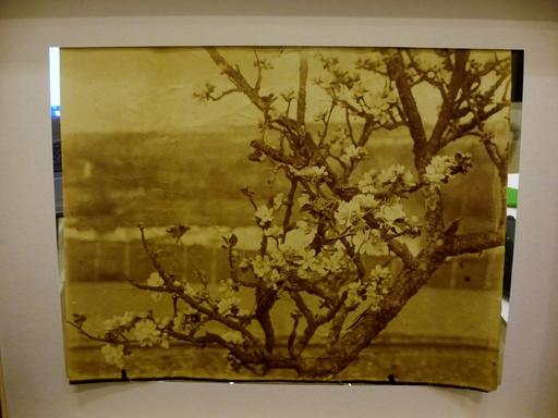 尤金·阿杰特 - 照片 - Branche de pommier vers 1900