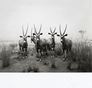 Hiroshi SUGIMOTO - Print-Multiple - Gemsbok Diorama