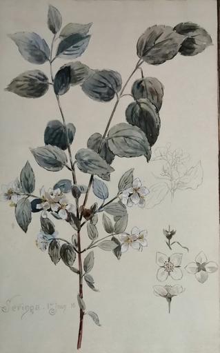 Alfred KELLER - Dibujo Acuarela - Seringa - Botanique