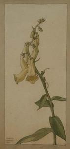 """Pavel Fjodorowitsch SCHWARTZ - Zeichnung Aquarell - """"Bellflowers"""" by Pavel Schwartz"""
