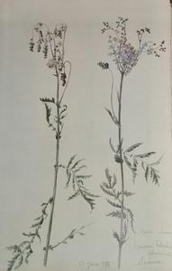 Alfred KELLER - Dibujo Acuarela - Spirea Filipendula - Botanique