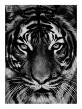 Robert LONGO - Estampe-Multiple - Untitled (Tiger)