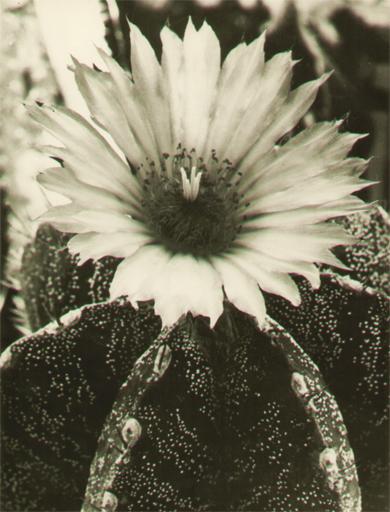 Albert RENGER-PATZSCH - Fotografia - Astrophytum myriostigma