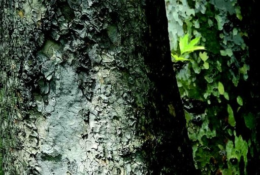 Abbas KIAROSTAMI - Fotografia - Trees and Crows No.45