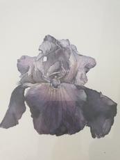 Patrick NEU - Disegno Acquarello - Iris