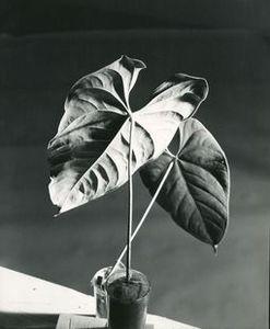 Herbert MATTER - Photography - 2 Leaves
