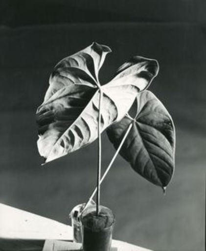 Herbert MATTER - Photography - 2 Leaves
