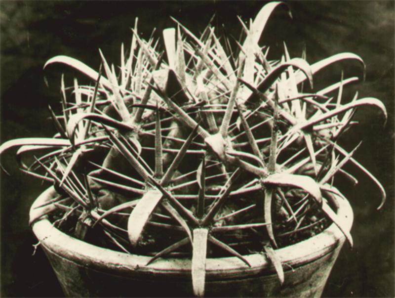 Albert RENGER-PATZSCH - Fotografia - Echinocactus corniger