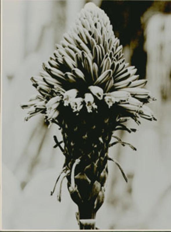 Albert RENGER-PATZSCH - Fotografia - Liliaceae, Aloe arborescens