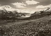 Jean GABERELL - Photography - Frühling im Oberengadin, Krokuswiese  b. St. Moritz g. Silva