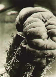 Albert RENGER-PATZSCH - Fotografia - Anhalonium williamsii
