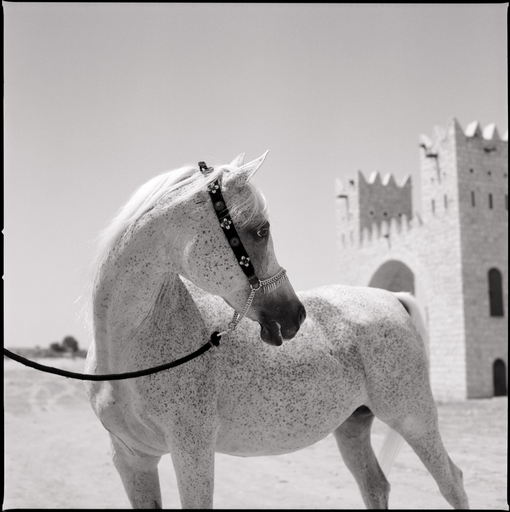 Wouter DERUYTTER - Fotografia - Arabian Knights Royal Horse Qatar