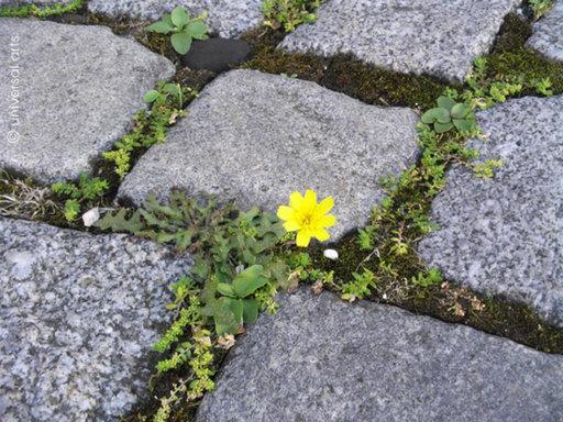 Mario STRACK - Photo - She said 1 - Cobblestone Flower - ltd. Edition